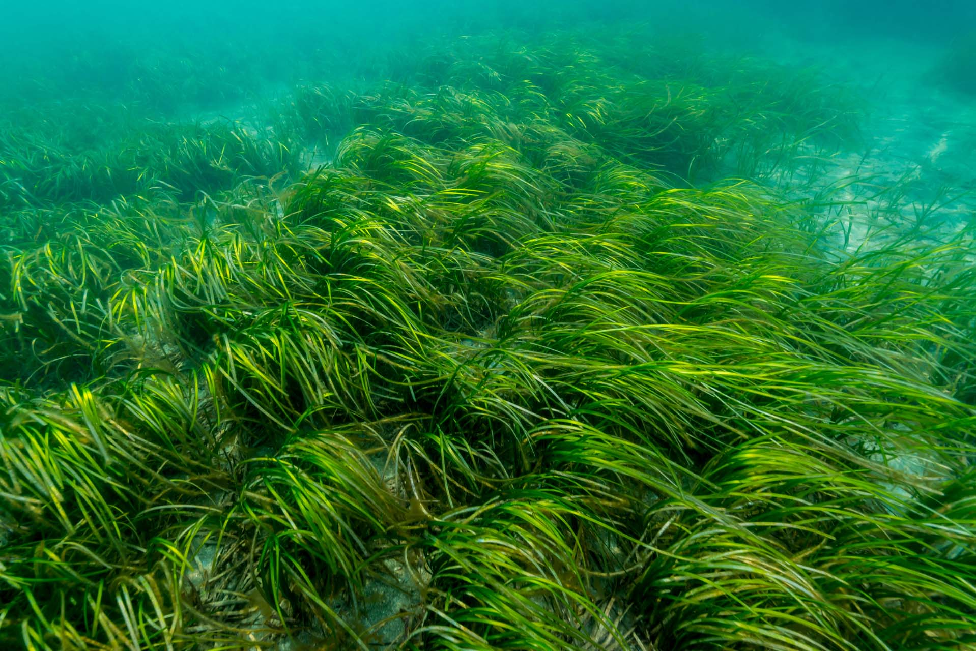 submerged coastal vegetation